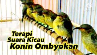 Suara #Konin Ombyokan | terapi konin malas bunyi dan macet