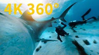 4K 360° VR在巴哈馬海域與虎鯊相遇《國家地理》雜誌