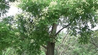 【一分動画】🌳花シリーズ エンジュ 槐 Chinese scholar tree (マメ科)🌷