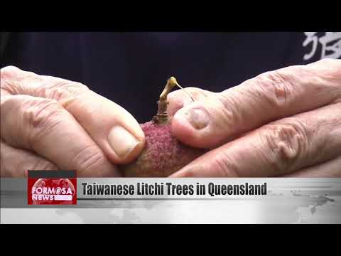 Taiwanese Litchi Trees Planted In Queensland In Joint Project
