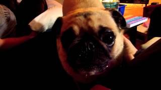 Yoda The Pug Wants Some Popcorn