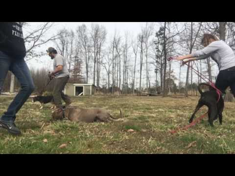 High Energy Pit Bull, Loki!  Best Pit Bull Dog Training in Northern Virginia | Off Leash K9
