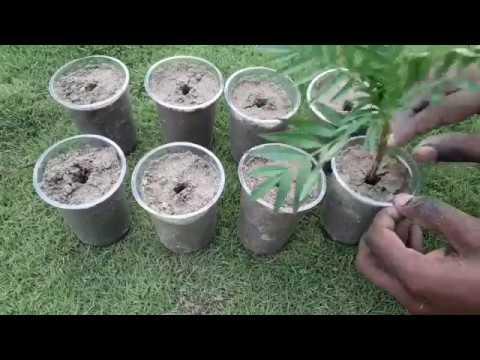 Grow marigold from cutting / गेंदा को कटिंग से लगाना सीखें घर पर ही