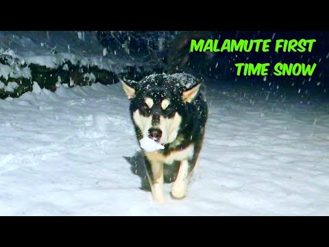 Alaskan Malamute Reacting to Snow for the First Time