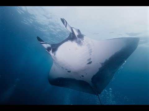 Facts: The Giant Oceanic Manta Ray