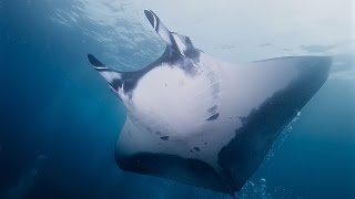 Video Facts: The Giant Oceanic Manta Ray download MP3, 3GP, MP4, WEBM, AVI, FLV Oktober 2018