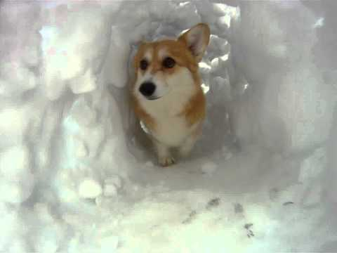Corgi Snow Tunnel