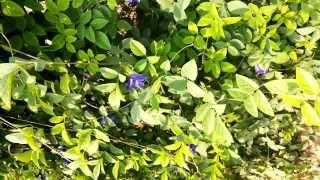 krishna kanta flower