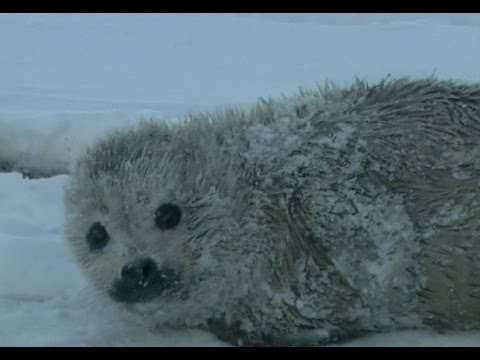 Harbor Seal Cub Stranded on Beach in North China City