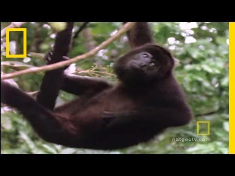 Howler Monkeys | National Geographic