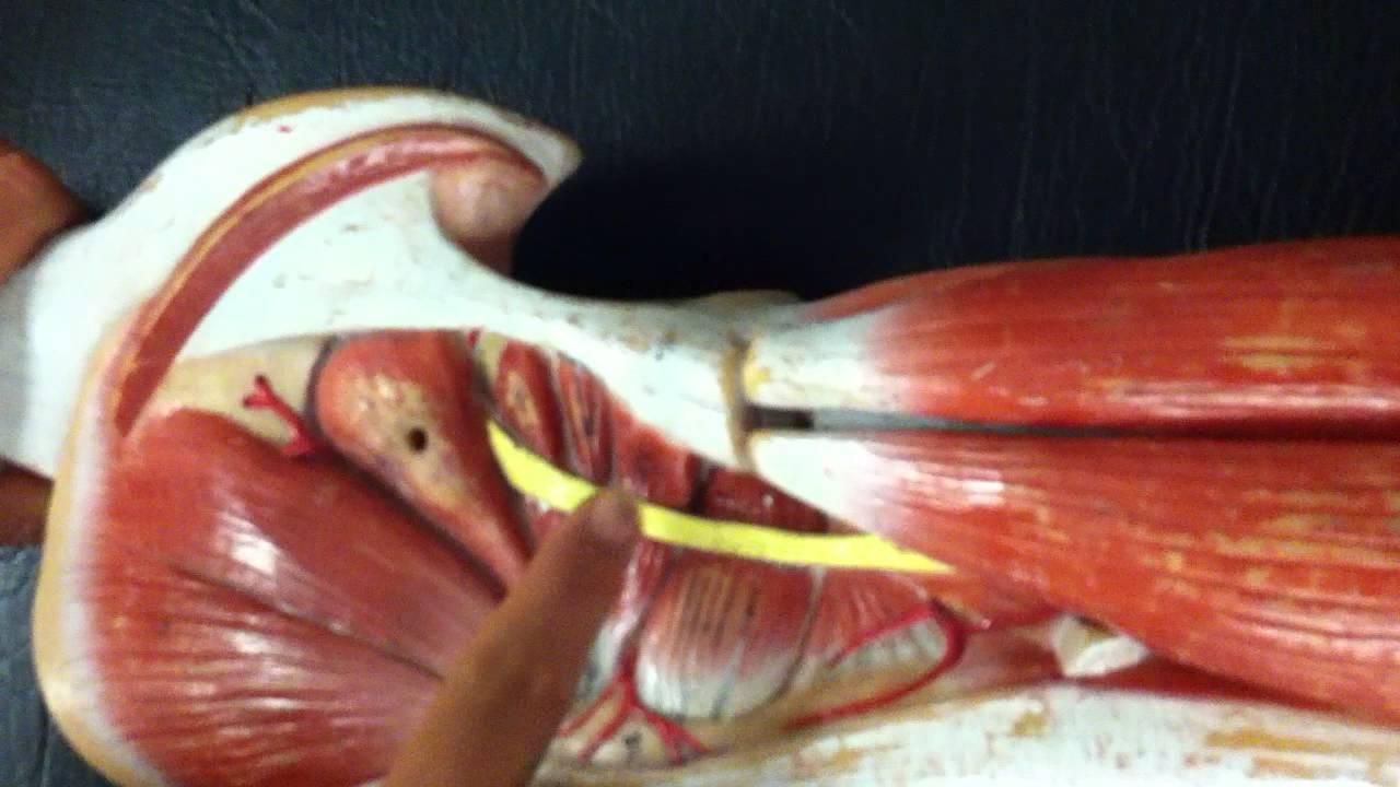 BYUH Anatomy Lab- Upper Leg Muscles Gluteus Maximus to Quadratus ...
