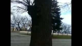 Kizoa Online Movie Maker: Famous Trees of Odessa, Ukraine