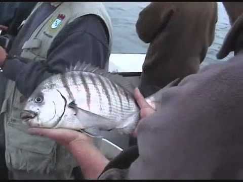 pèche du sar avec sardine