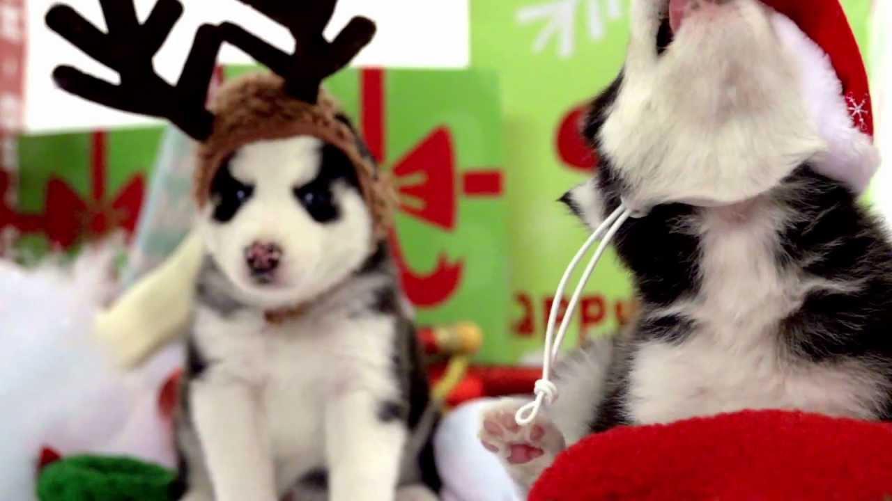Husky Christmas Puppy.Husky Puppies Play In Winter Wonderland