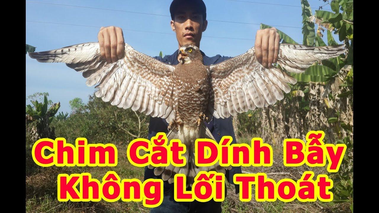 Bẫy chim Cắt, Đại bàng, Diều Hâu bằng Giò, chim dính bẫy KHÔNG lối thoát