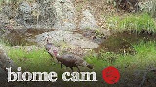 Wild Turkeys Camera Trap Footage   Biome Cam