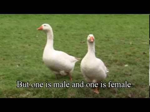 How to tell sex of a duck