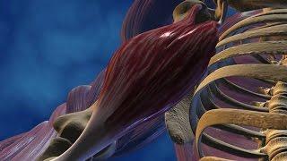 Au coeur des organes : Le muscle, moteur du mouvement