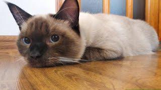 Siamese Cat mix Persian Cat, 9 Month Old Cat