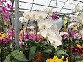 Choosing Phalaenopsis Orchids Come With Me Decorative Pots