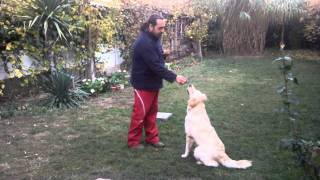 "Dresaj Oradea  - Golden Retriever De 1 An,executa Comanda ""latra La Comanda """
