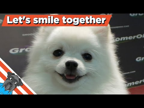 Grooming a pomeranian - Curious wight spitz puppy