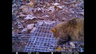 Black Fox Squirrel Trap  - Update