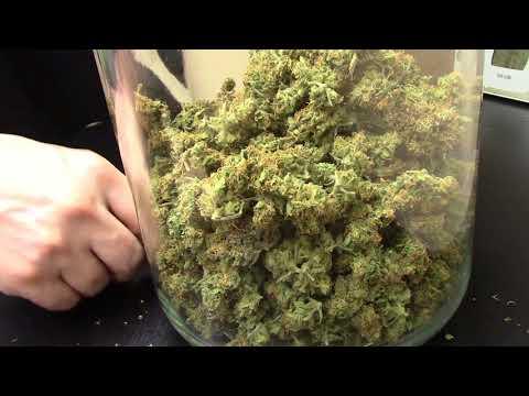 S4:E9 Fastbuds Gorilla Glue autoflower cannabis harvest weigh in