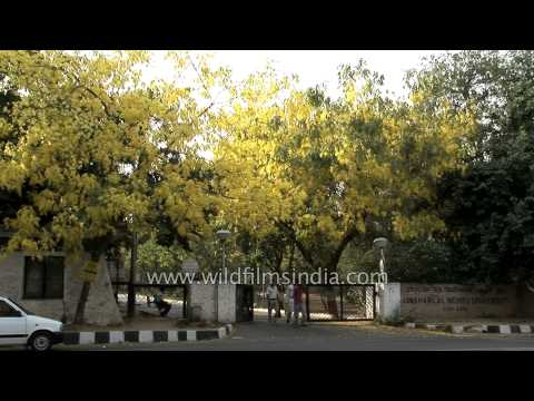 Blooming golden flowering trees at JNU, Delhi