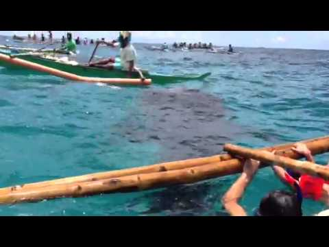Swimming with Whale Sharks in Oslob Cebu