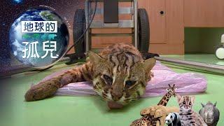 (網路搶先版)地球的孤兒系列Orphans of the Earth /消失中的淺山精靈-石虎/Saving the last Leopard Cat-台灣1001個故事-20190818【全集】