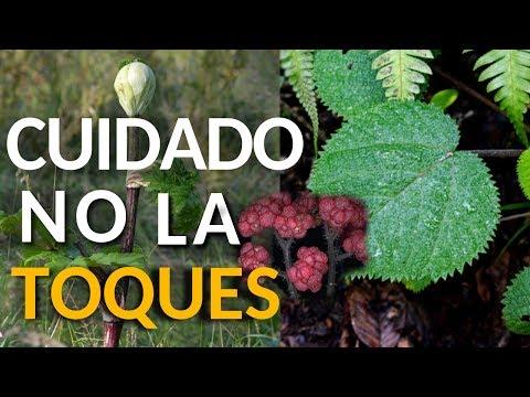 Las 5 plantas mas peligrosas que nunca debes tocar