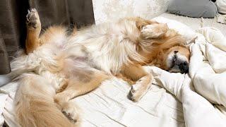 身体を最大限に広げてベッドを占領する愛犬