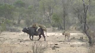 видео: Буйвол и львы
