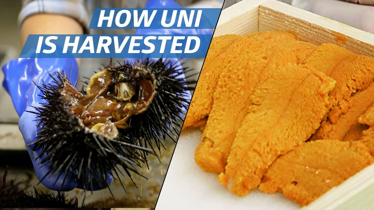 How Sea Urchin (Uni) Is Processed Commercially —How to Make It