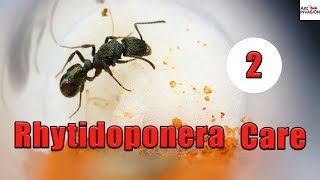 How To Raise A Rhytidoponera Queen Ant! | Part 2 Larvae