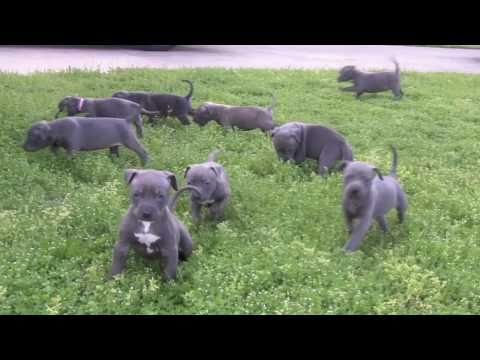 Blue Pitbull Puppies