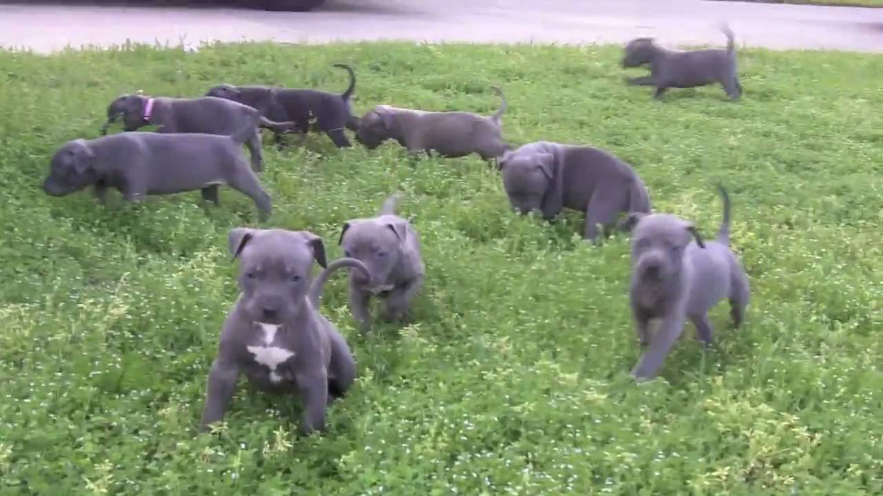 pitbull research paper American pit bull registry single pit registration  the larger the pedigree the more we can use to research and enhance your material pits with extended.