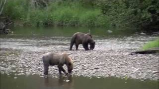 Grizzly Bear, Atnarko River, eating Salmon.#1