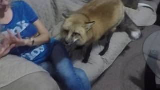 Repeat youtube video What does the fox say when mommy gets home