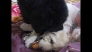 生後2ヶ月、ニューファンとラブラドールの子犬。