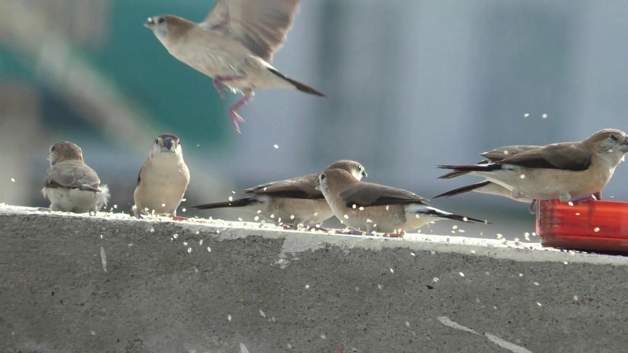 Chittu Kuruvi | சிட்டுக்குருவி | Birds | தினை உண்ணும் குருவிகள் |குருவி|Birds food|Birds Eats Millet