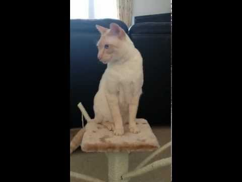 Milo the Colorpoint Shorthair Cat (Flame-Point Siamese)