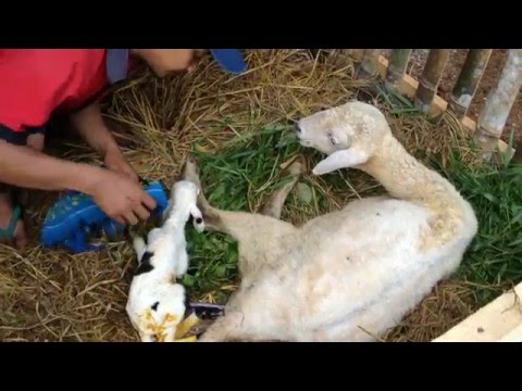 Kelahiran domba pertama di Z Farm