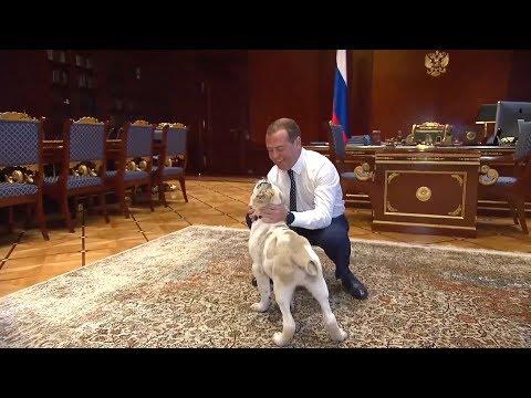 Дмитрий Медведев показал, как живет его щенок Айк