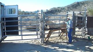 January 12, 2013 Redlands, CA Mustang Adoption - Loading Up to go Home