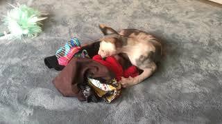 Baby Sphynx Kitten Protesting Clothing!