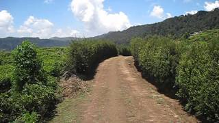 Nuwara Eliya - Views over the surrounding tea plantations on a deserted walking trail