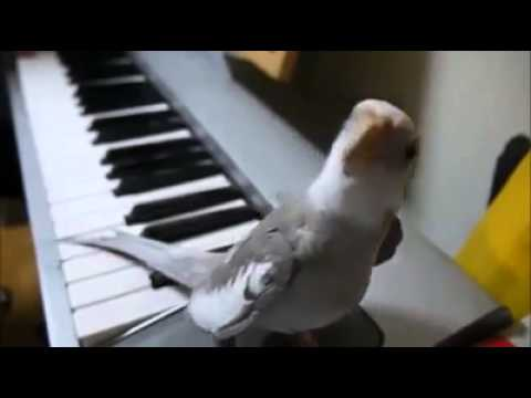 Bird Sings in Synchrony with Piano !!! Incredible   Cute