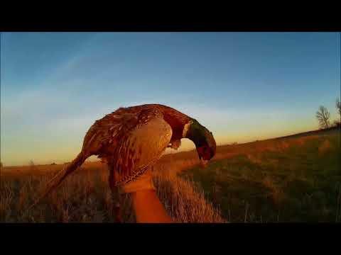 10/25/2017 South Dakota pheasant hunt